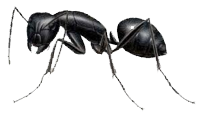 Whistler Carpenter Ants Removal Services