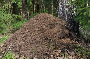 Ant hill at birch tree