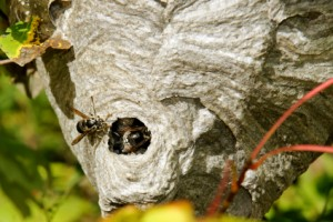 Bald-faced hornets on nest