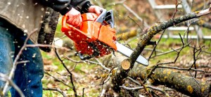 Sawdust flies as a man cuts a fallen tree into logs. A chainsaw